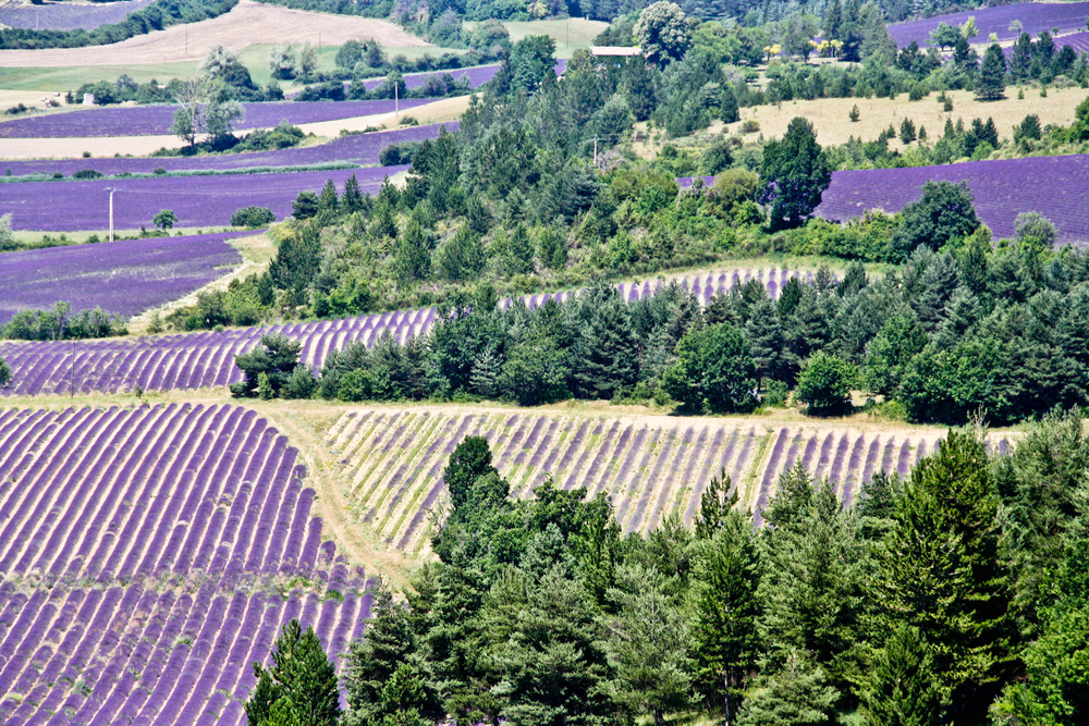 Lavender Fields, France are one of the most colorful places on earth