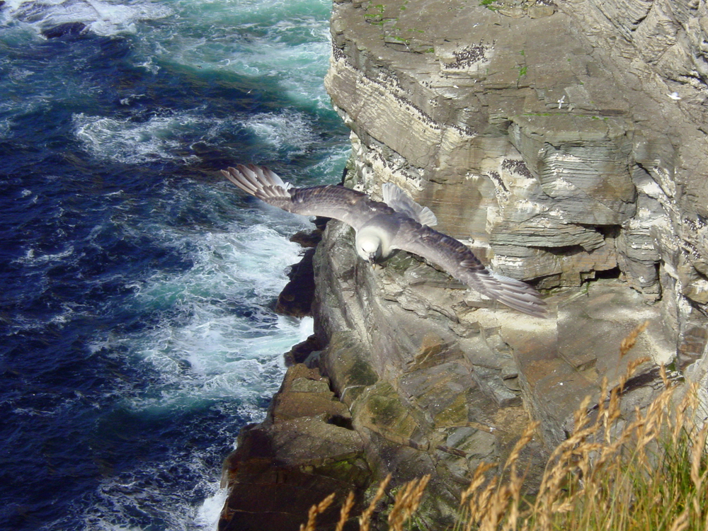 A fulmar hovers at a sea cliff at Marwick Head, Orkney, Scotland