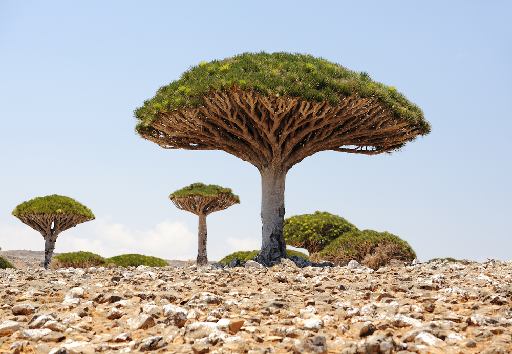 Dragon's Blood Trees, Yemen
