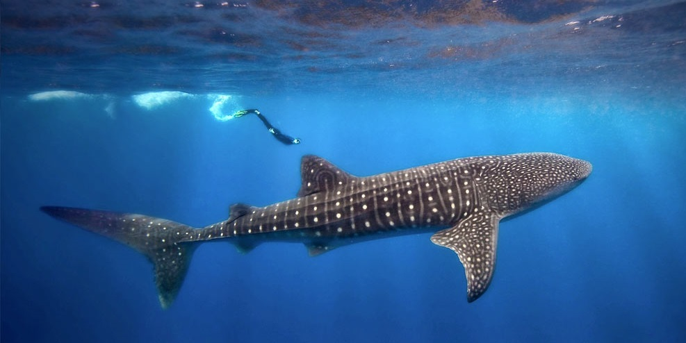 The Best Locations To Swim With Whale Sharks Lost Waldo